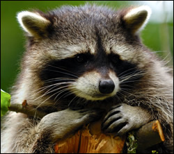 Palmetto raccoon removal
