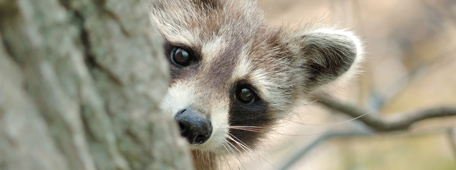 Palmetto Wildlife Removal Raccoon Removal